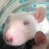 Rongeur Rat Dylan
