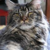 Chat Maine Coon Ebony