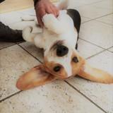 Chien Beagle Edgar