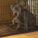 Chien Staffordshire Bull Terrier Ève