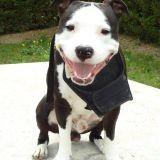 Chien American Staffordshire Terrier Ekon