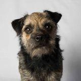 Chien Border Terrier Elo
