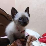 Chat Siamois Elsa - La Reine Des Neiges
