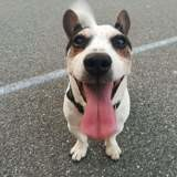 Chien Jack Russell Terrier Emile