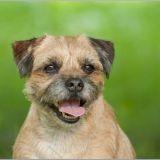 Chien Border Terrier Emmy