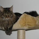 Chat Maine Coon Enza