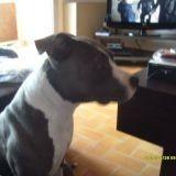 Chien American Staffordshire Terrier Enza