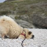Chien Épagneul tibétain Louna