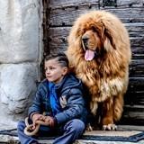 Chien Dogue du Tibet Ermei Des Lions Du Tibet