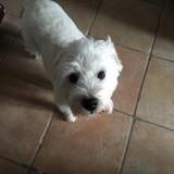 Chien West Highland White Terrier Eryne