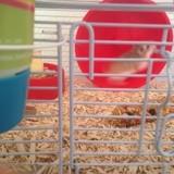 Rongeur Hamster Estelle