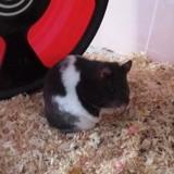 Rongeur Hamster Etoile