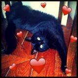 Chat Européen Jack The Black Cat