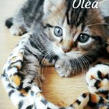 Chat Européen Oléa