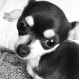 Chien Chihuahua Eyla