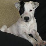 Chien Jack Russell Terrier Ezio