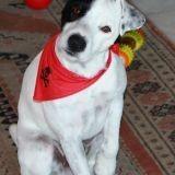 Chien Parson Russell Terrier Ezio