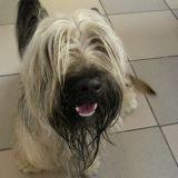 Chien Skye Terrier Candy