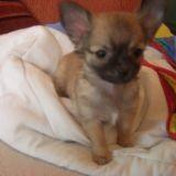 Chien Chihuahua Febee