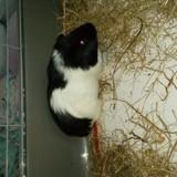 Rongeur Rat Fifi