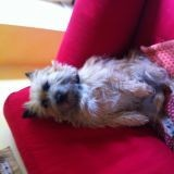 Chien Cairn Terrier Filou