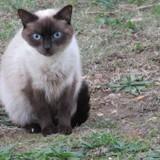 Chat Siamois Filou