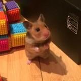 Rongeur Hamster Fleche