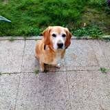 Chien Beagle Flocon