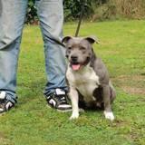 Chien Staffordshire Bull Terrier Flora