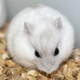 Rongeur Hamster Fluffy