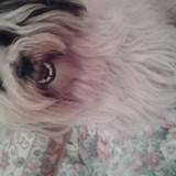 Chien Terrier tibétain Foolin