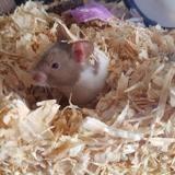 Rongeur Hamster Foot Lettuce