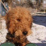 Chien Airedale Terrier Foppe