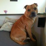 Chien American Staffordshire Terrier Fracas Qui Est Mort A Trois Ans