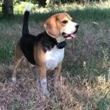 Chien Beagle Francis