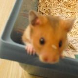 Rongeur Hamster Freddy