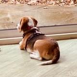 Chien Beagle Freyja