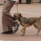 Chien Border Terrier Frimousse