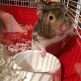 Rongeur Hamster Frimousse