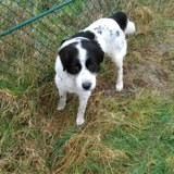 Chien Setter anglais Galaxy