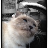 Chat Birman Galianna