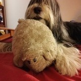 Chien Bearded Collie Galice