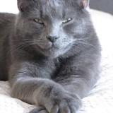 Chat Bleu russe Garfield