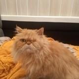 Chat Persan Garfield