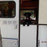 Chien Labrador Retriever Gary
