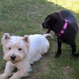 Chien West Highland White Terrier Getro
