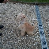 Chien Lakeland Terrier Gibbs