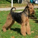 Chien Airedale Terrier Gibbs