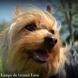 Chien Silky Terrier Gimli