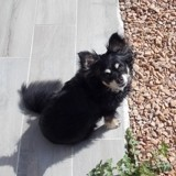 Chien Chihuahua Gipsy